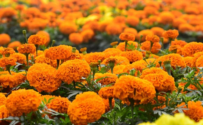 Marigold For Gorgeous Skin: 8 DIY Ayurvedic Remedies You Will Love