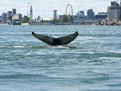 Wayward Whale Shows Up At Canada River, Miles Away From Home