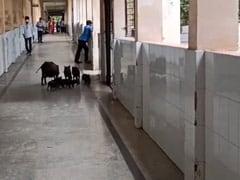 कर्नाटक में कोरोना अस्पताल के कॉरिडोर में आराम से घूमते दिखे सूअर