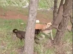 Two Dogs vs A Huge Monitor Lizard In This Viral Video From Uttarakhand