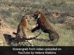 A Brutal Fight Between Two Tigers In This Video Going Viral Again