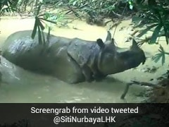 Rare Javan Rhinoceros Enjoys A Mudbath. Over A Million Views For Video