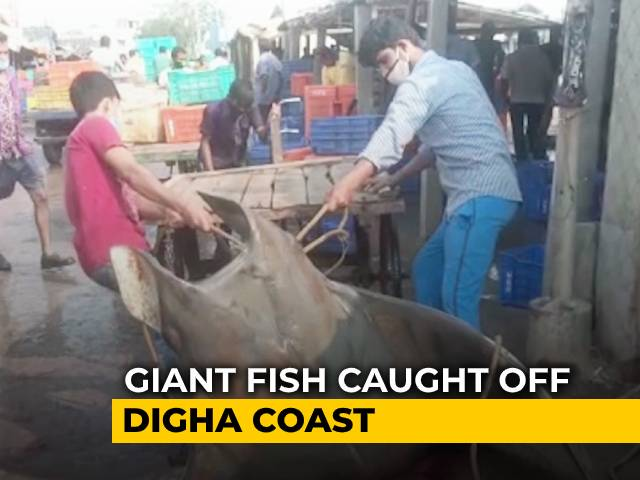 Video: Giant Fish Caught Off Digha Coast, Sold For Rs. 50,000 | NDTV Beeps