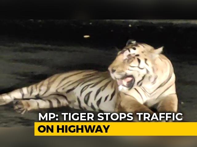 Video : Viral Video: Tiger Stops Traffic On Highway In Madhya Pradesh | NDTV Beeps
