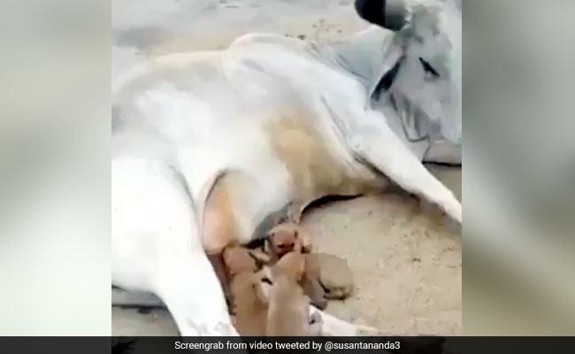 गाय ने पिलाया कुत्ते के भूखे बच्चों को दूध, वायरल हुआ दिल छू लेने वाला Video