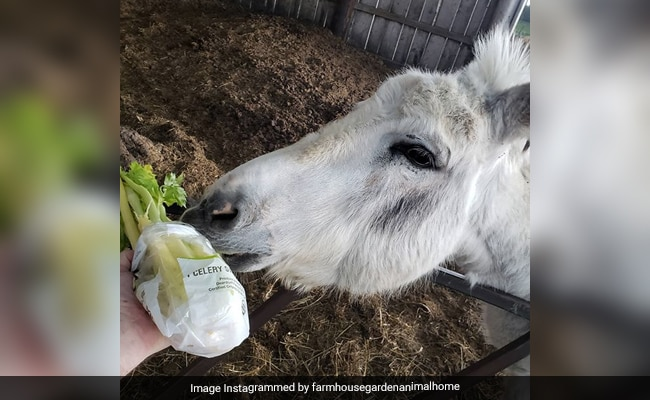 Meet 'Buckwheat', The Donkey You Can Hire To Crash Zoom Meetings