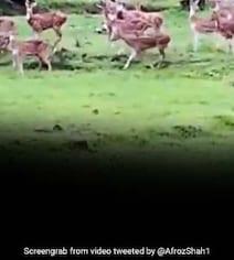 कोरोनावायरस के कहर के बीच मुंबई की मीठी नदी के किनारे दिखा हिरणों का झुंड... देखें Video