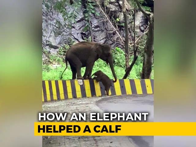 Video : Elephant Seen Helping Calf Cross Roadside Barrier In Heartwarming Video