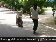 """Baby Elephant """"Vedavathi"""" Runs Behind Her Keeper In This Delightful Video"""