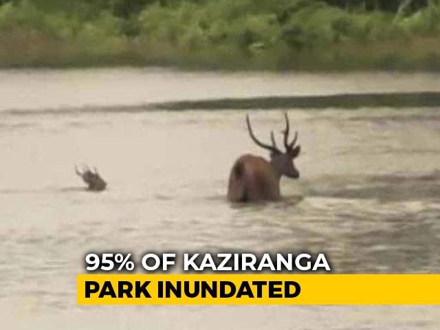 Video : Assam Floodwater Inundates Kaziranga Park, 51 Animals Dead, 100 Rescued