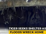 Video : In Assam's Kaziranga, A Tiger Takes Shelter From Monsoon In A Goat Shed