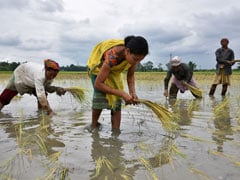 Vigorous Monsoon Rains Lead To 25% Rise In Planting Of Summer-Sown Rice In India