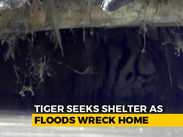 Video: In Assam's Kaziranga, A Tiger Takes Shelter From Monsoon In A Goat Shed