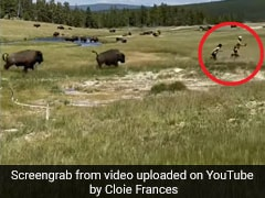 In Scary Video, Tourist Trips And Falls While Fleeing Charging Bison