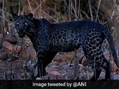Waited For 2 Hours For Shot: Pune-Based Photographer On Viral Black Leopard Picture
