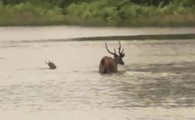 Assam Flood Water Inundates Kaziranga Park, 51 Animals Dead, 100 Rescued