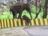 Video : Elephant Seen Helping Calf Cross Roadside Barrier In Heartwarming Video