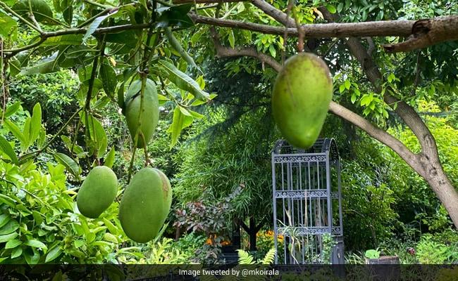 मनीषा कोइराला ने मां के साथ मिलकर लगाए थे पेड़, अब फलों से यूं लदे हुए आए नजर- देखें Photos