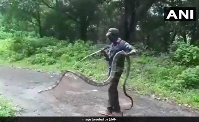 हाथ में 15 फीट का किंग कोबरा लेकर सड़क पार करने लगा शख्स और फिर... देखें Video