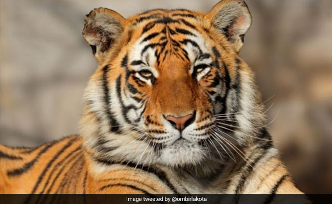 Assam BJP Leader Protests, Says No Beef For Tigers At Guwahati Zoo