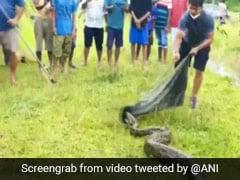 16-Foot Burmese Python Rescued In Assam. Watch Video