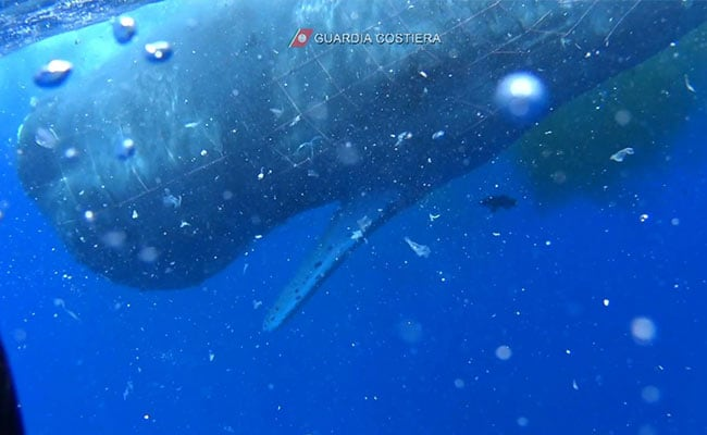 Italian Coastguard Struggles To Free Sperm Whale 'Fury' Caught In Fishing Net