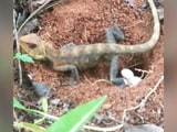 Video : In Chennai, Pilot Captures Rare Video Of Oriental Garden Lizard Laying Eggs. Watch