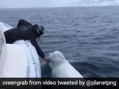 """Watch: Ravichandran Ashwin Shares Video Of Beluga Whale """"Playing Some Rugby"""""""