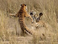 बाघिन के लिए दो बाघों के बीच हुई खतरनाक जंग, हवा में उछलकर किया Attack और फिर... देखें पूरा Video