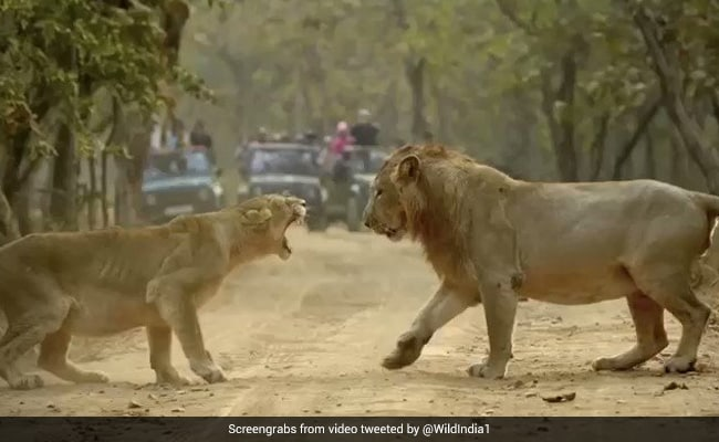 A Lion And Lioness Fight In This Incredible Video From Gir Forest