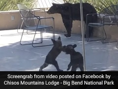 Video Of Two Little Bear Cubs Wrestling Each Other Amuses Millions. Watch
