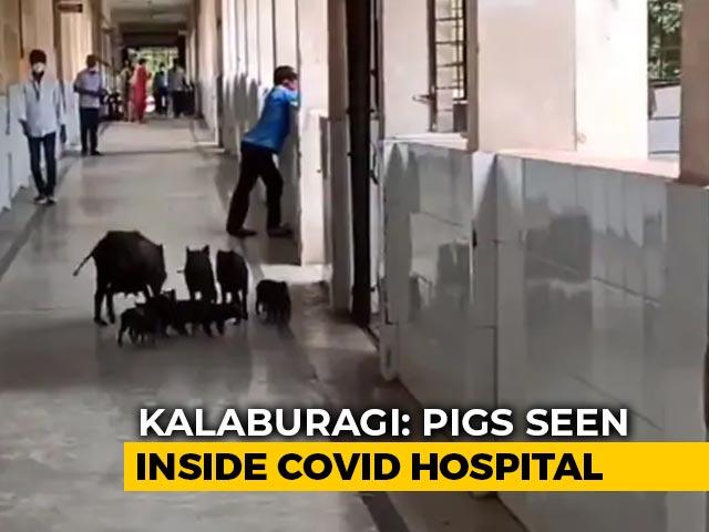 Video : Pigs Roam Freely In Corridors Of COVID-19 Hospital In Karnataka