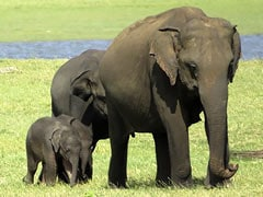 Sri Lanka Rangers Spot Possible Rare Baby Elephant Twins
