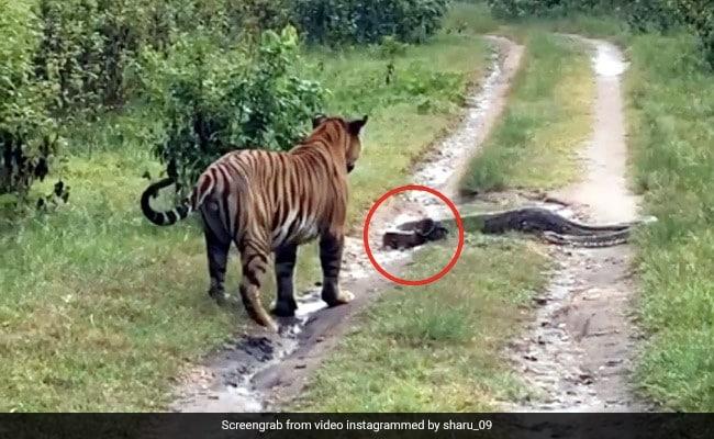 घूम रहा था बाघ, तभी सामने आ गया अजगर फिर 'जंगल के राजा' ने दिखाई ऐसी चतुराई... देखें पूरा Video