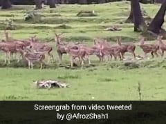 "Watch: A Herd Of Deer In ""The Heart Of Mumbai"" Leaves Twitter Amazed"