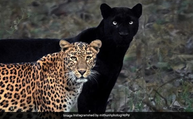 जंगल में एक साथ दिखे ब्लैक पैंथर और तेंदुआ, तस्वीर के लिए 6 दिन तक जंगल में बैठा रहा फोटोग्राफर