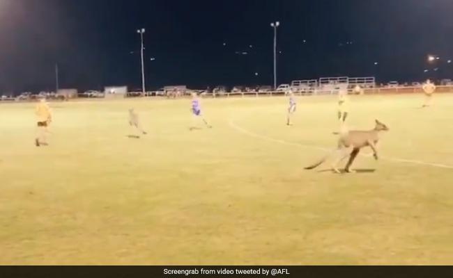 फुटबॉल मैच के बीच में अचानक से घुस गया कंगारुओं का झुंड और फिर... देखें Viral Video