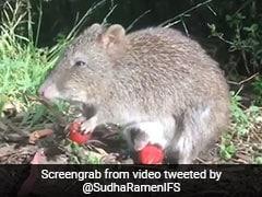 कंगारू की तरह जानवर ने अपने बच्चे को रखा पेट की थैली में, दोनों ने ऐसे खाई स्ट्रॉबेरी- देखें Viral Video