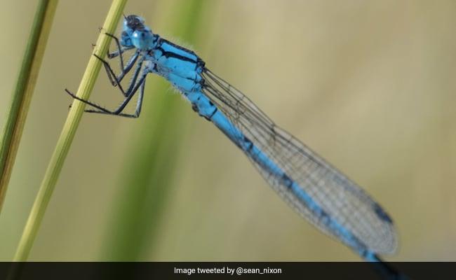 Maharashtra: 'Nearly Extinct' Damselfly Species Found Near Satara Dam