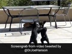 भालू के बच्चों के बीच हुई खतरनाक Fight, खड़े होकर ऐसे जड़े एक-दूसरे को मु्क्के... देखें पूरा Video