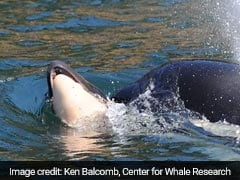 Killer Whale Who Carried Her Dead Calf For 17 Days Is Pregnant Again