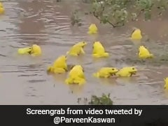 Viral Video Of Yellow Frogs In Madhya Pradesh Surprises Twitter