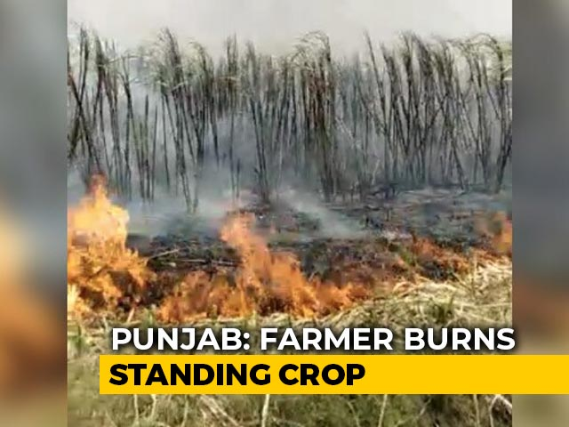 Video : No Mill Amid Lockdown, Punjab Farmer Burns Sugarcane Field