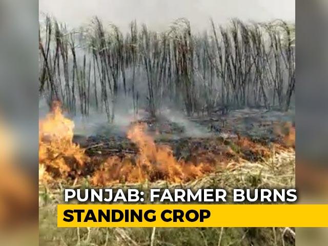 Video: No Mill Amid Lockdown, Punjab Farmer Burns Sugarcane Field