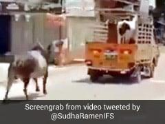 गाड़ी में गाय को उठाकर ले जा रहा था शख्स, पीछे लगा दी सांड ने दौड़ और फिर... देखें Viral Video
