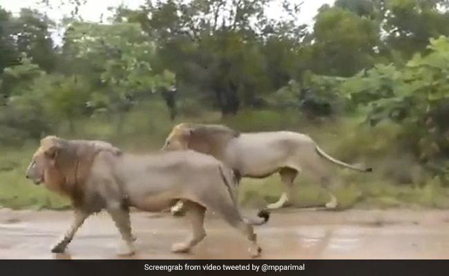 सड़क पर कार के साथ चलते दिखाई दिए दो खूंखार शेर, हैरान कर देने वाला Video हुआ वायरल