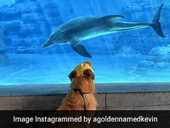 Golden Retriever Makes Friends With Dolphins. Video Is Adorable