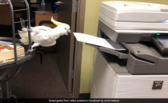 Reggie The Cockatoo Loves His New Job As Office Assistant. Watch