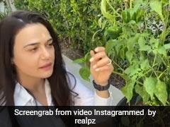 प्रीति जिंटा के घर में उगीं हरी मिर्च तो मां को कहा धन्यवाद, यूं कैंची से काटती आईं नजर- देखें Video