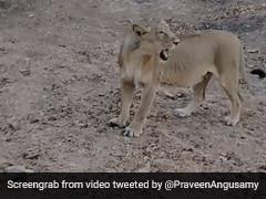 अचानक गाड़ी के सामने आकर खड़ी हो गई शेरनी, दहाड़ सुन कांप उठे लोग... देखें Video